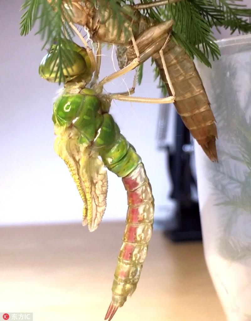 Chuồn chuồn lột xác với vỏ ngoài trong suốt