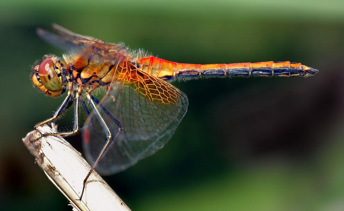 Chuồn chuồn màu cam trên lưng thật rực rỡ