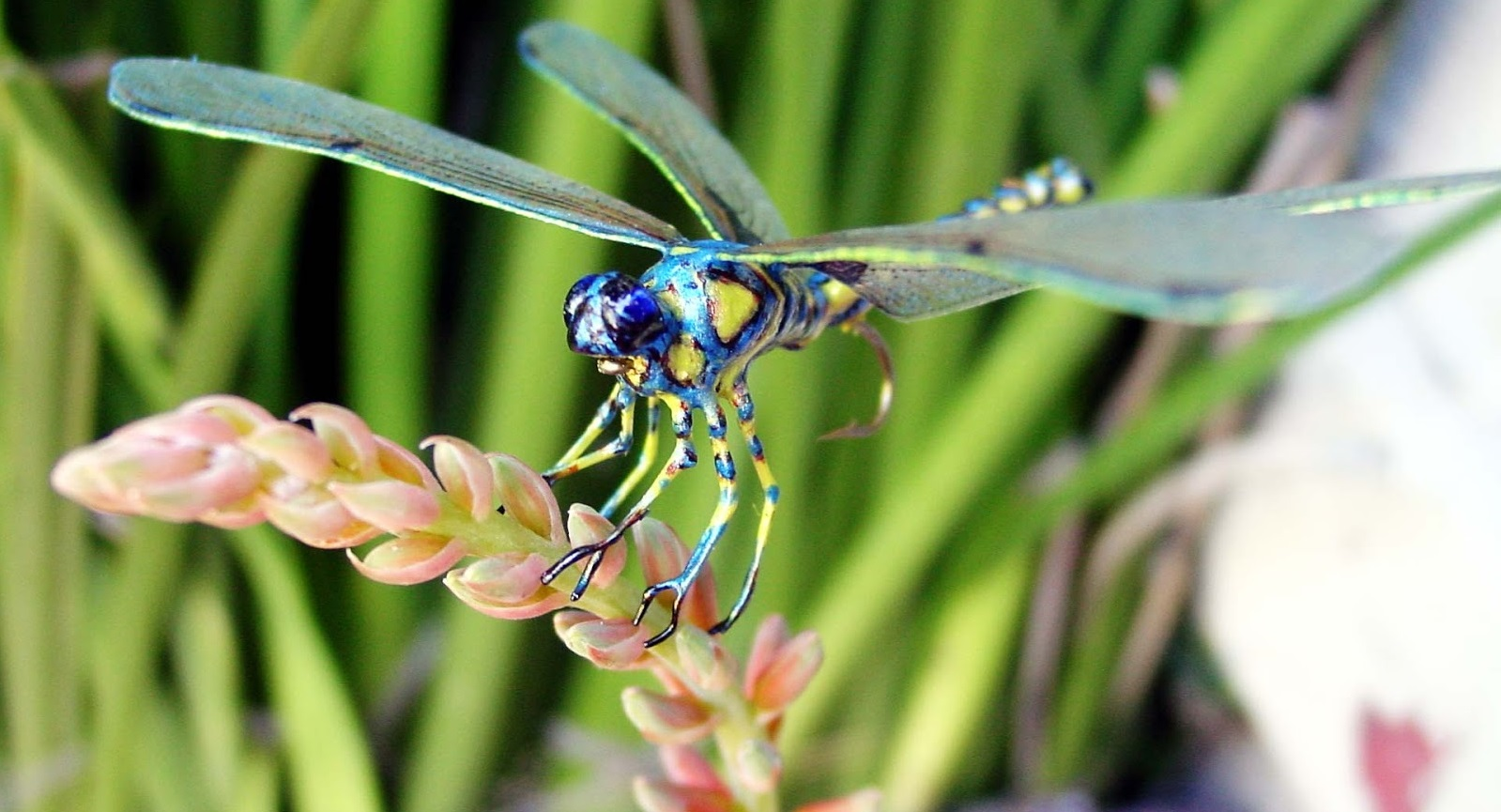 Chuồn chuồn xanh ôm bông