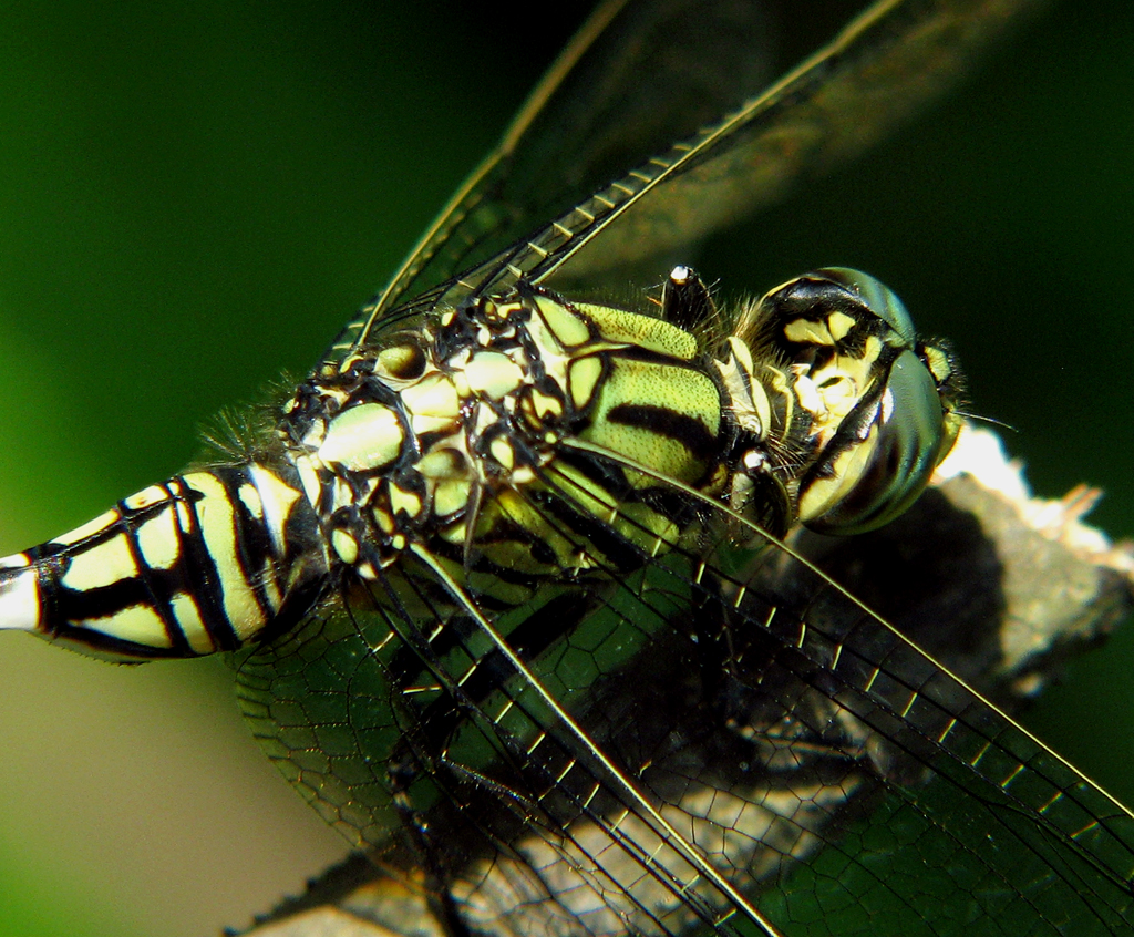 Chuồn chuồn xanh vằn đen cực đẹp