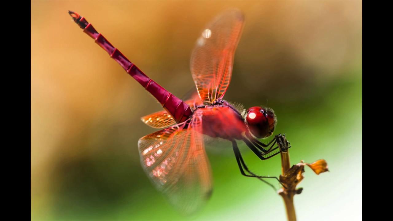 Con chuồn chuồn đỏ rực lửa