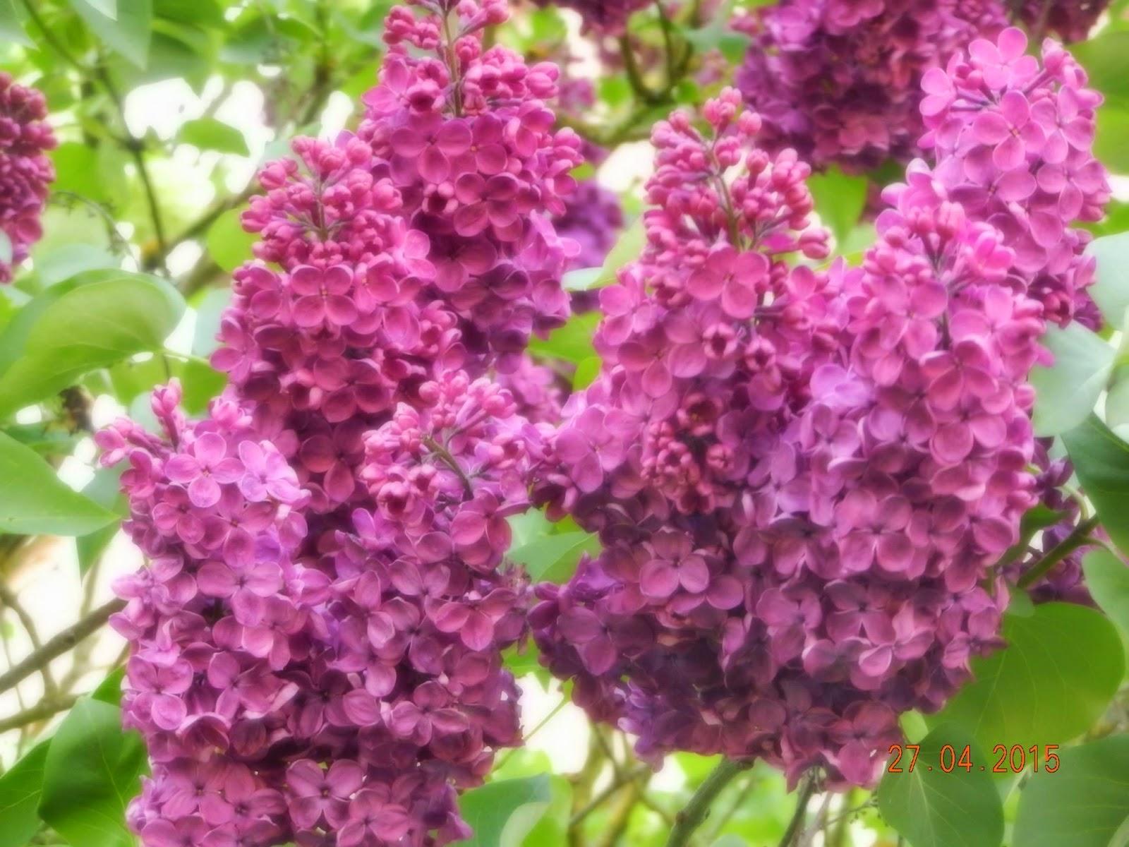 Cực đẹp hoa tử đinh hương