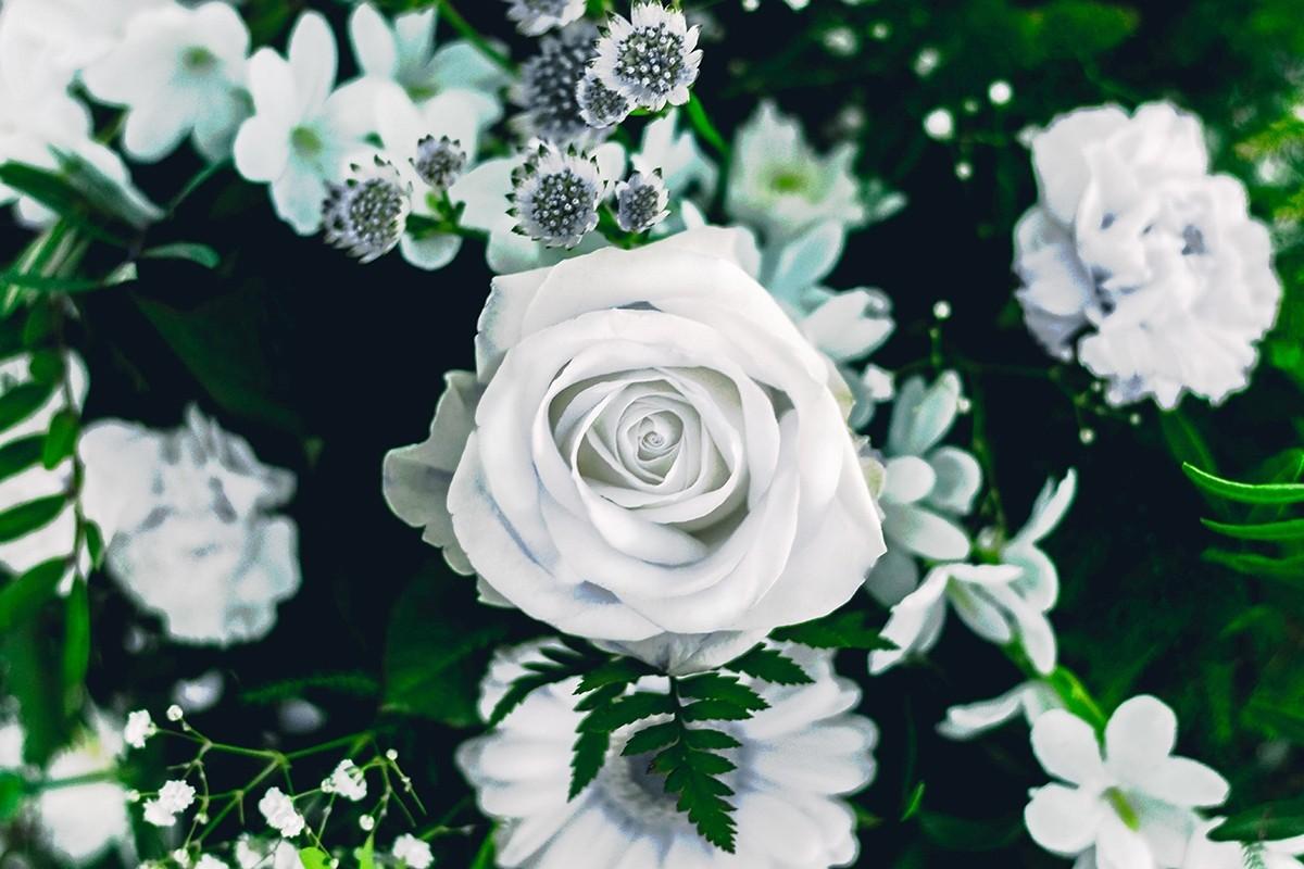 Cực kỳ xinh đẹp với bông hoa hồng trắng