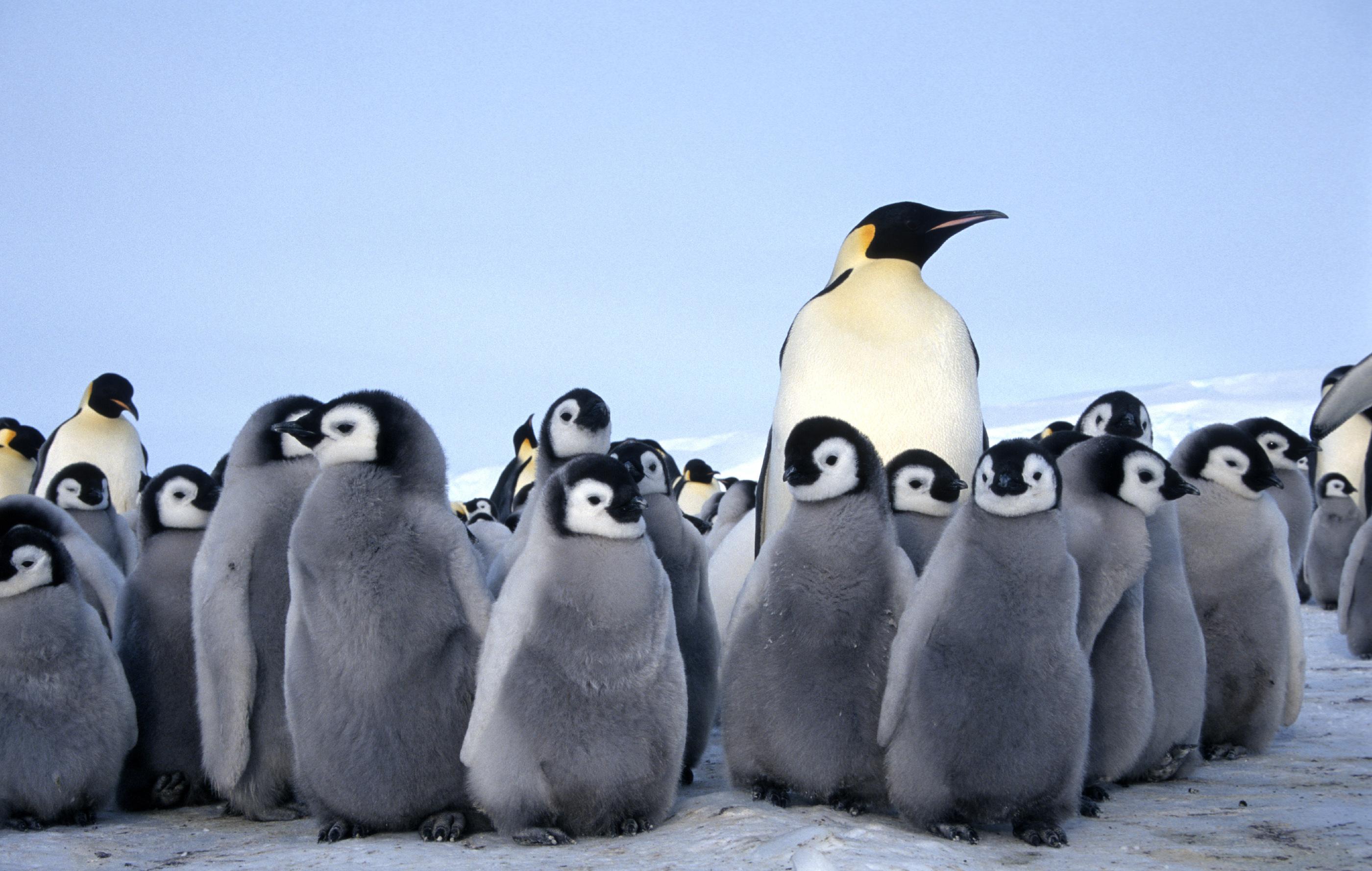 Đàn chim cánh cụt hoàng đế với những con non rất dễ thương
