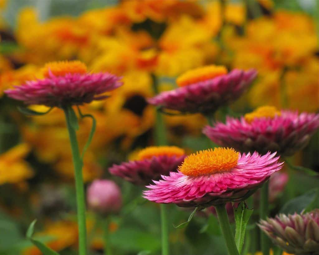 Đóa hoa bất tử cực kỳ xinh đẹp