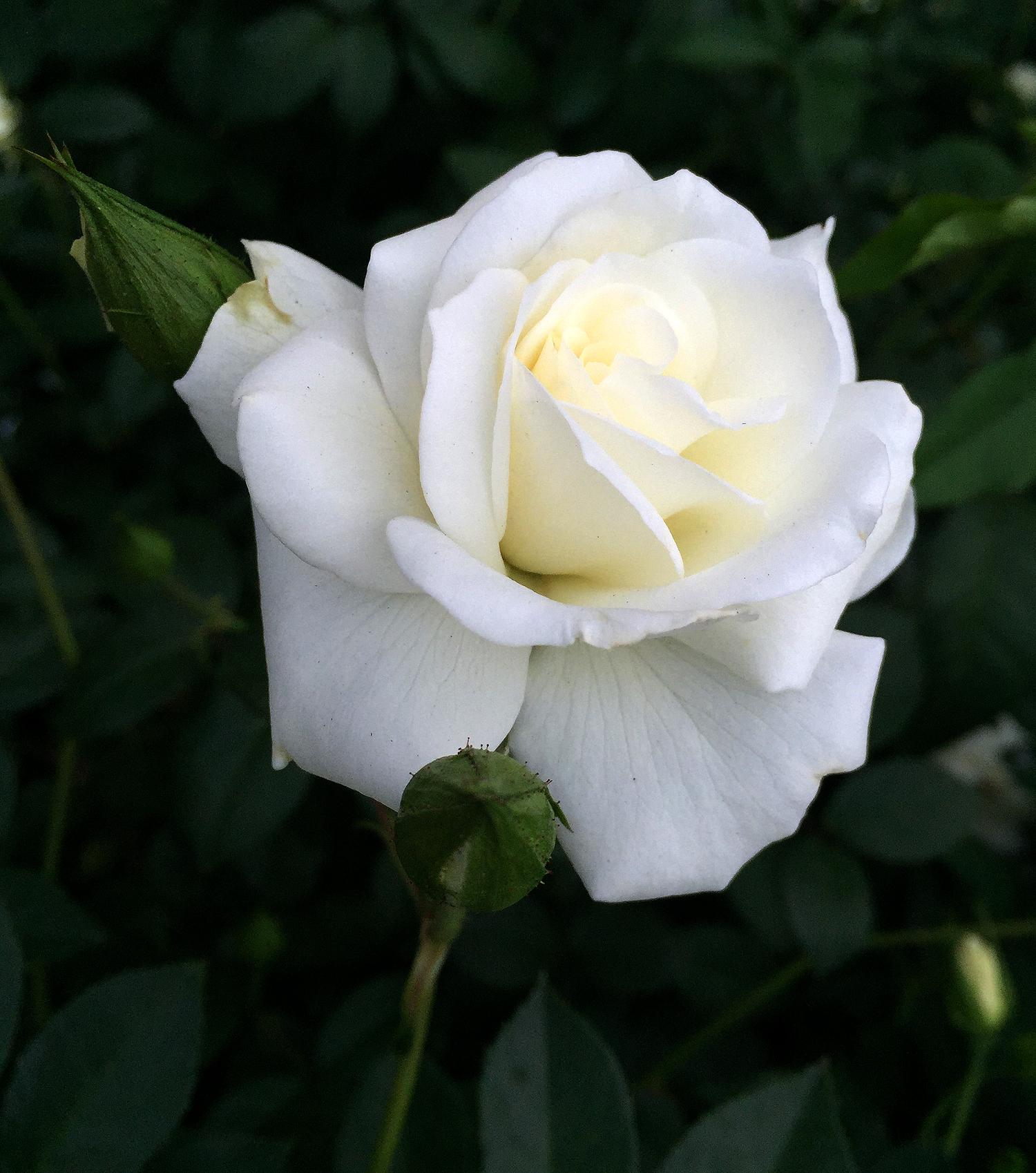 Đóa hoa hồng trắng giữa tán lá xanh