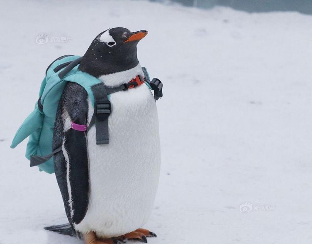 Em chim cánh cụt đeo cặp sách