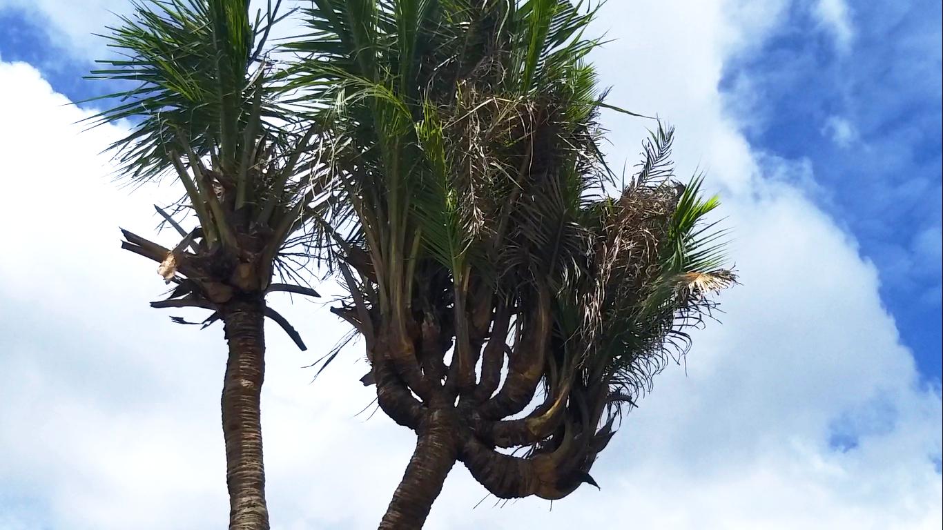 Gốc cây dừa kỳ lạ có 14 ngọn