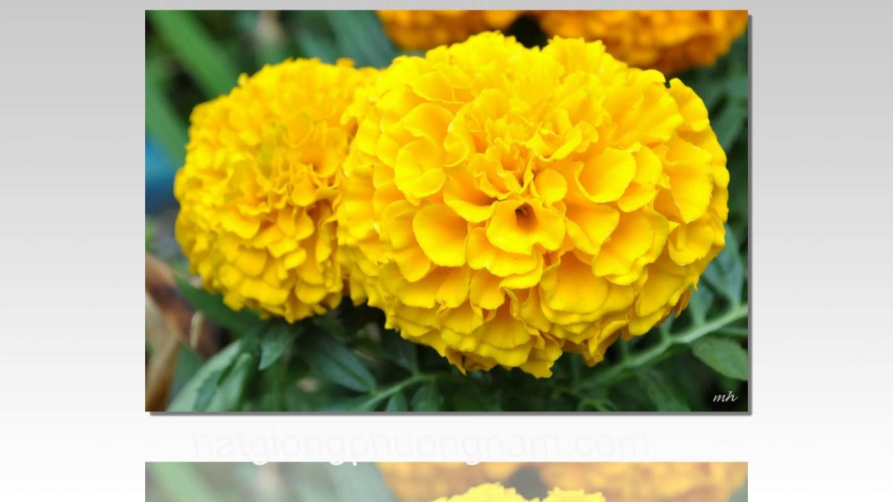 Hai bông cúc vạn thọ màu vàng