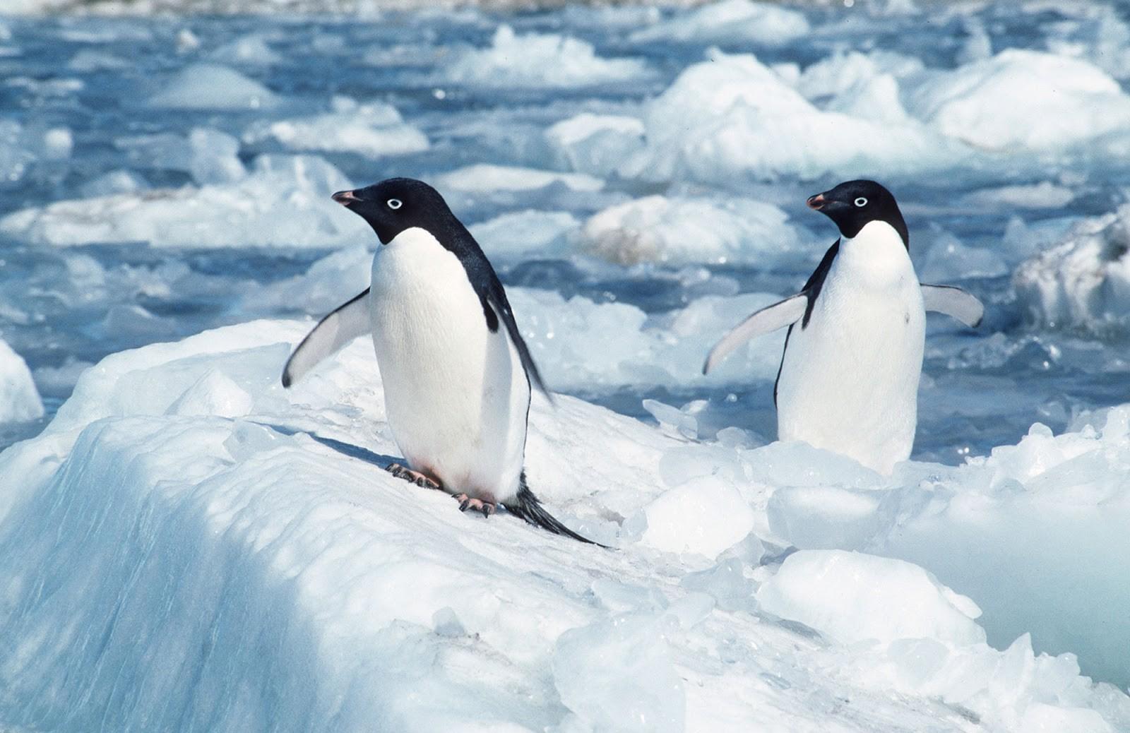 Hai chú chim cánh cụt con đang đứng trên băng