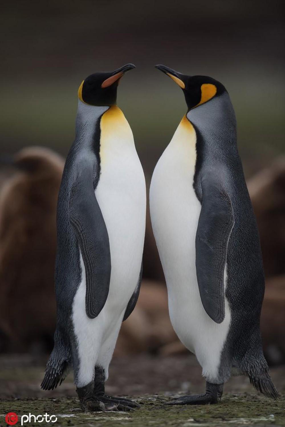 Hai chú chim cánh cụt đọ chiều cao