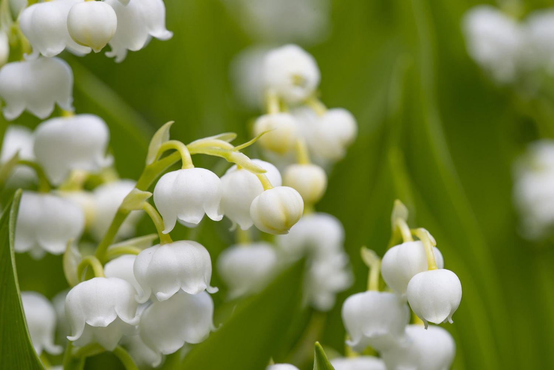 Hình ảnh bông hoa lan chuông cực đẹp
