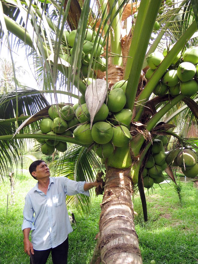 Hình ảnh cây dừa sai trĩu quả