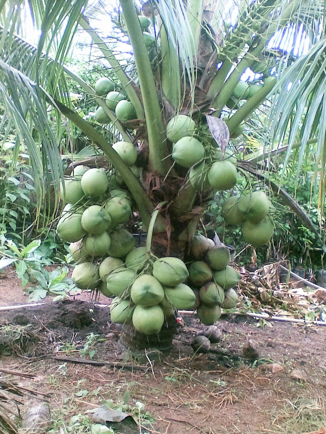 Hình ảnh cây dừa Thái lùn cực đẹp
