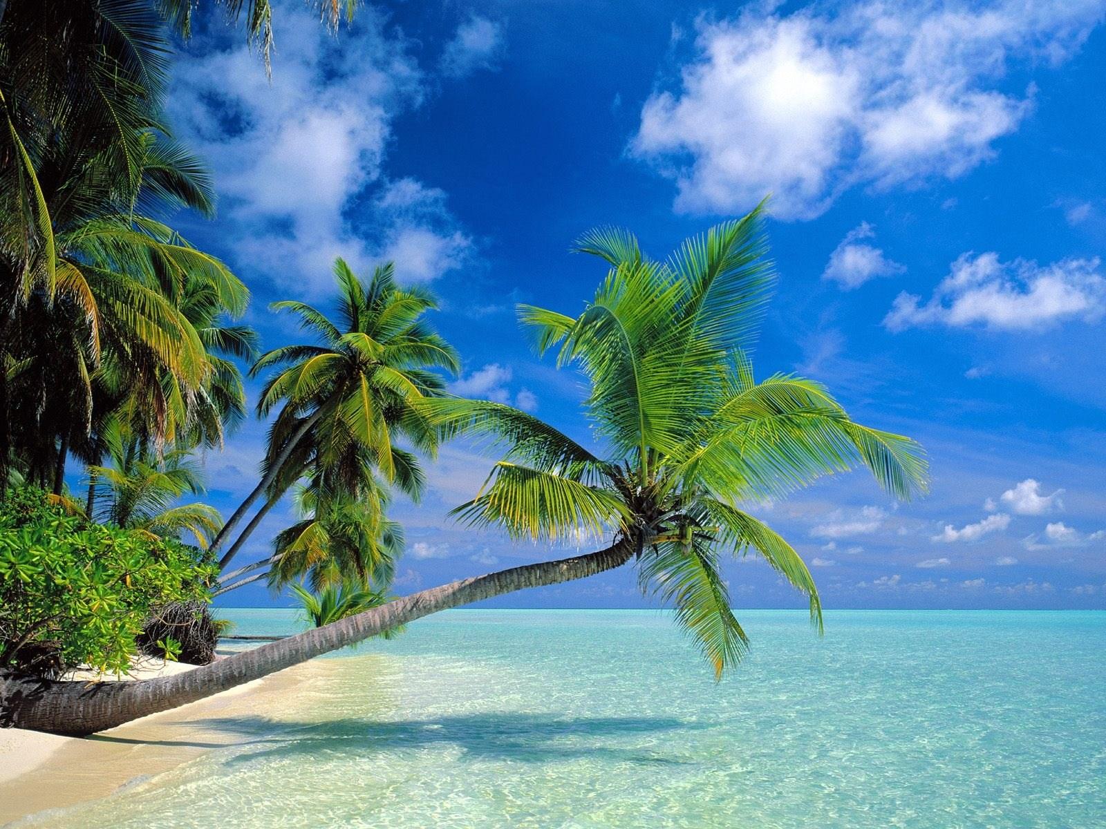 Hình ảnh cây dừa vươn ra biển cực đẹp