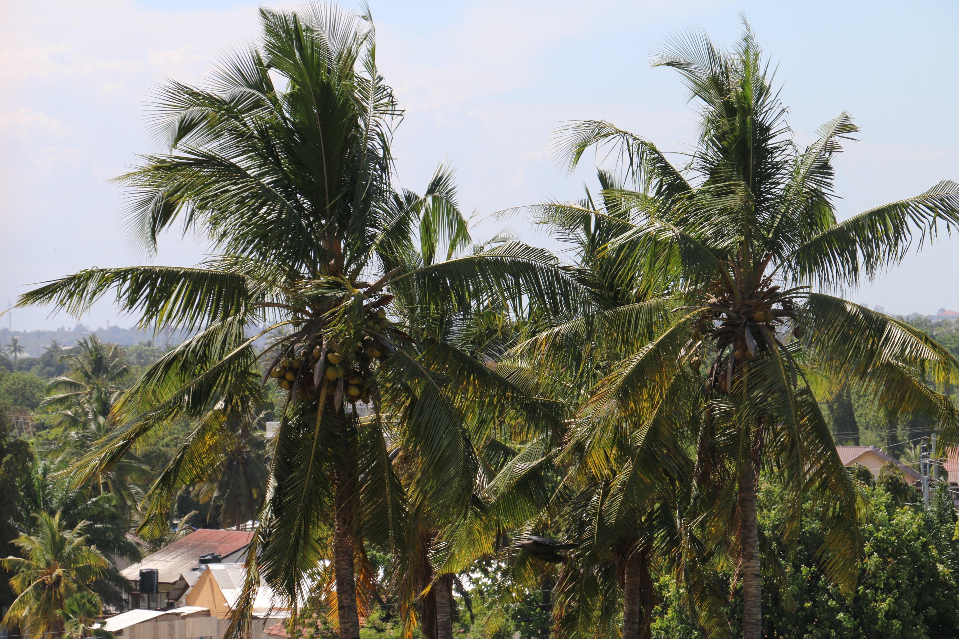 Hình ảnh hai cây dừa rất cao