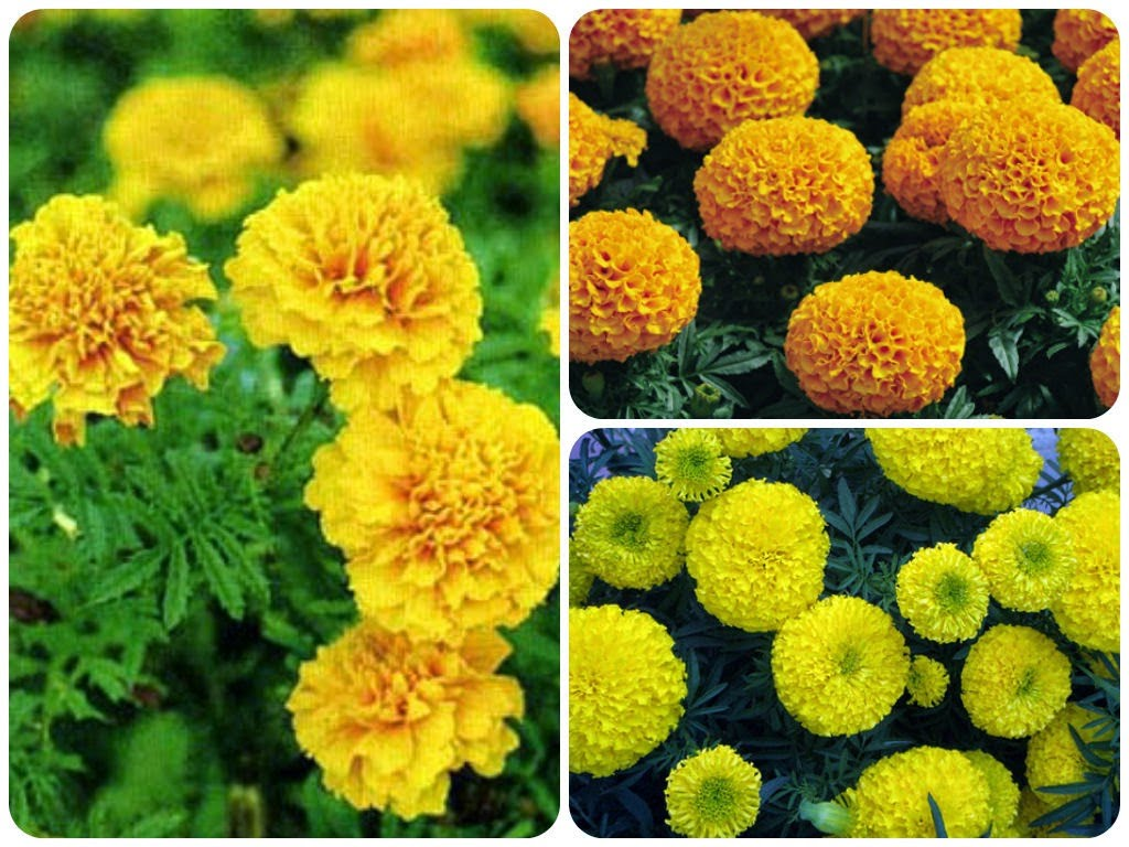 Hình ảnh hoa cúc vạn thọ cực đẹp
