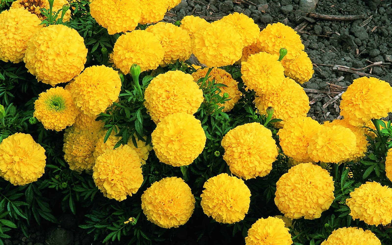 Hình ảnh hoa cúc vạn thọ màu vàng
