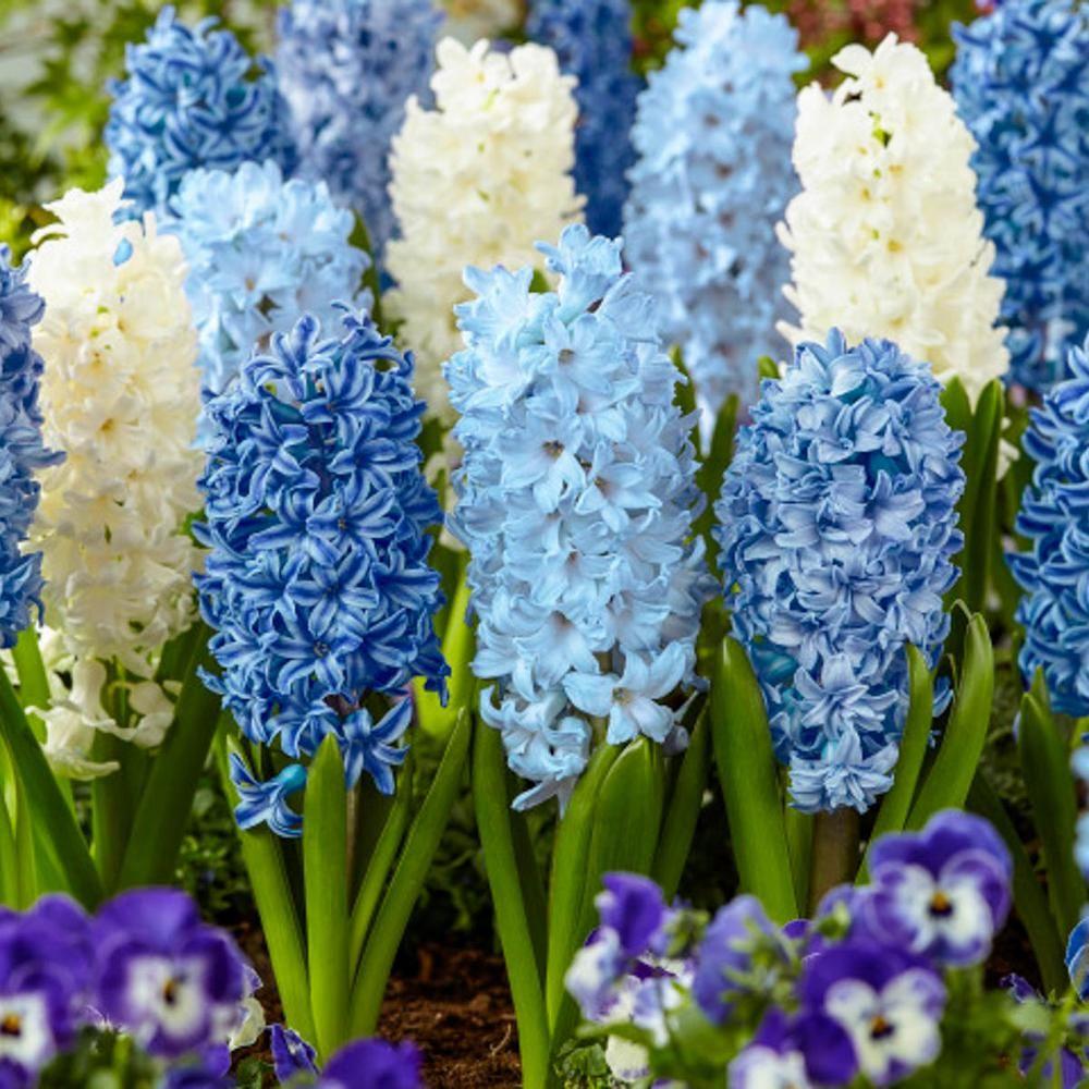 Hình ảnh hoa lục bình màu xanh da trời