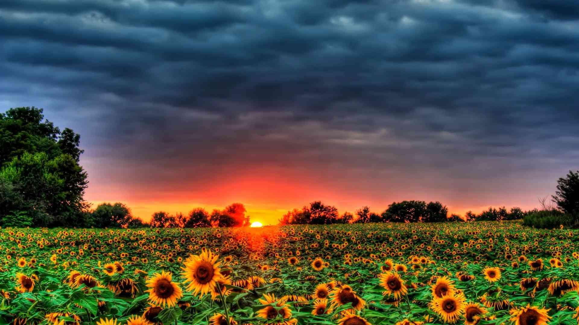 Hình ảnh mùa hè hoa hướng dương