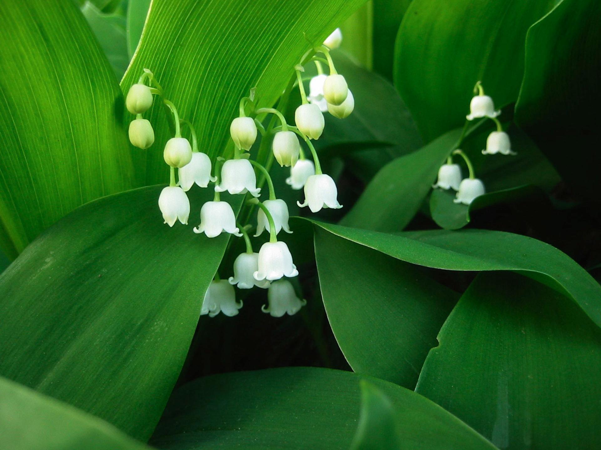 Hình bông hoa lan chuông trắng cực đẹp