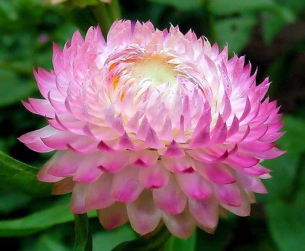Hoa bất tử cực kỳ đẹp màu hồng màu trắng