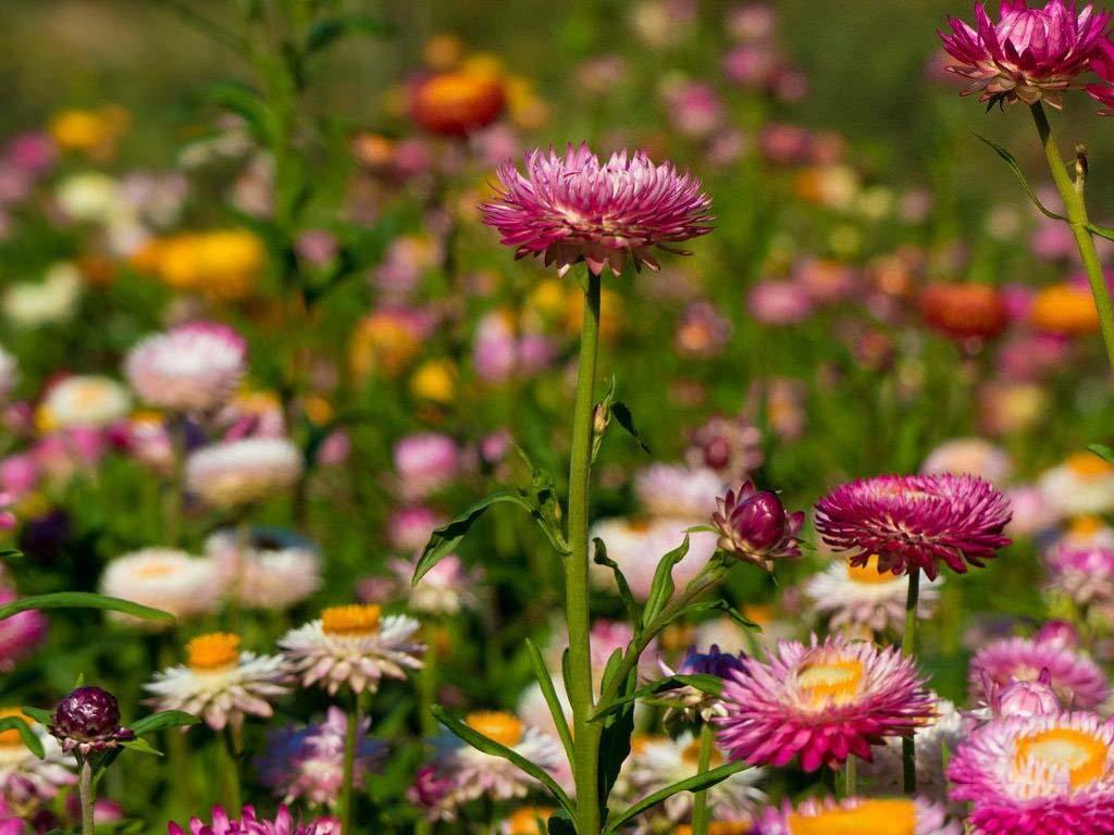 Hoa bất tử cực kỳ xinh đẹp