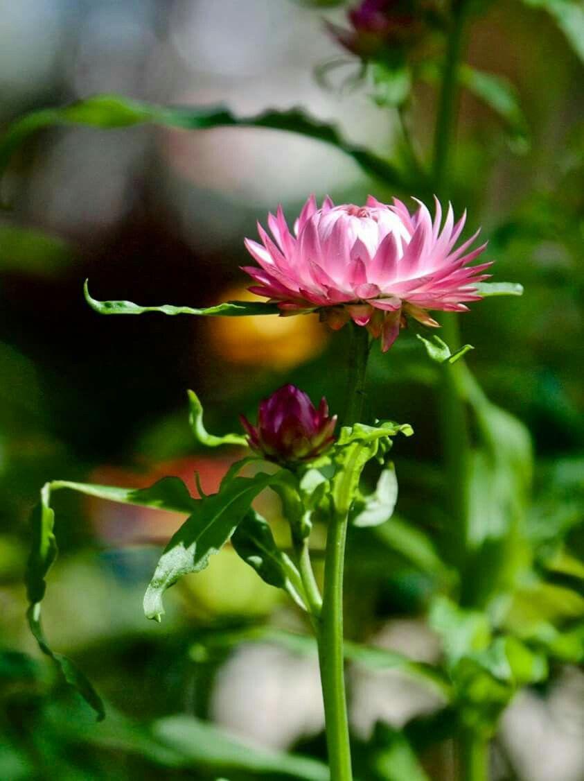 Hoa bất tử hồng trắng cực đẹp