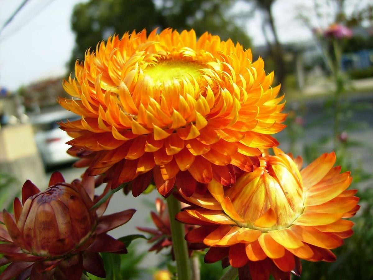 Hoa bất tử màu cam đỏ rực rỡ như lửa