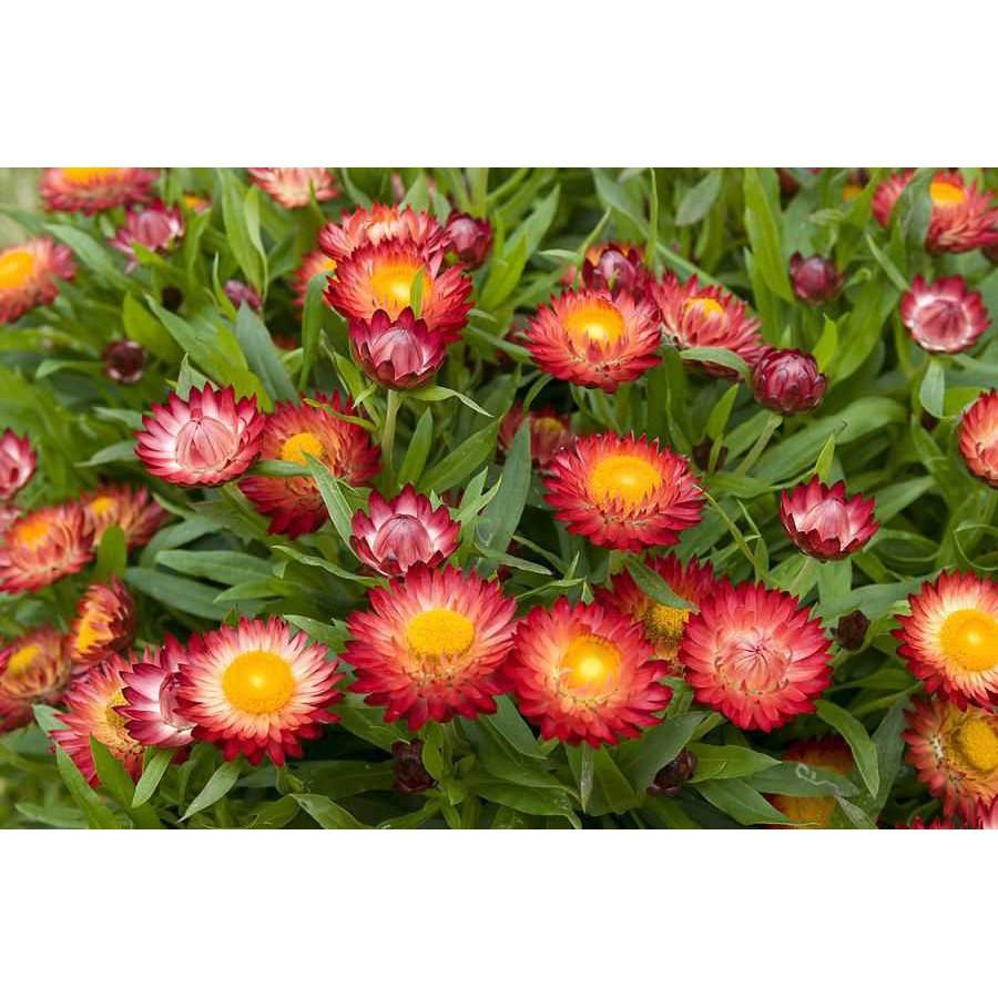 Hoa bất tử màu đỏ màu cam cực đẹp