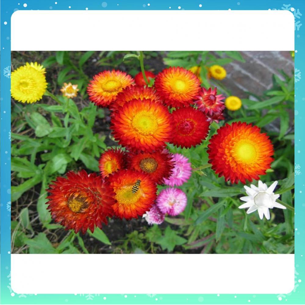 Hoa bất tử màu đỏ xanh cực đẹp