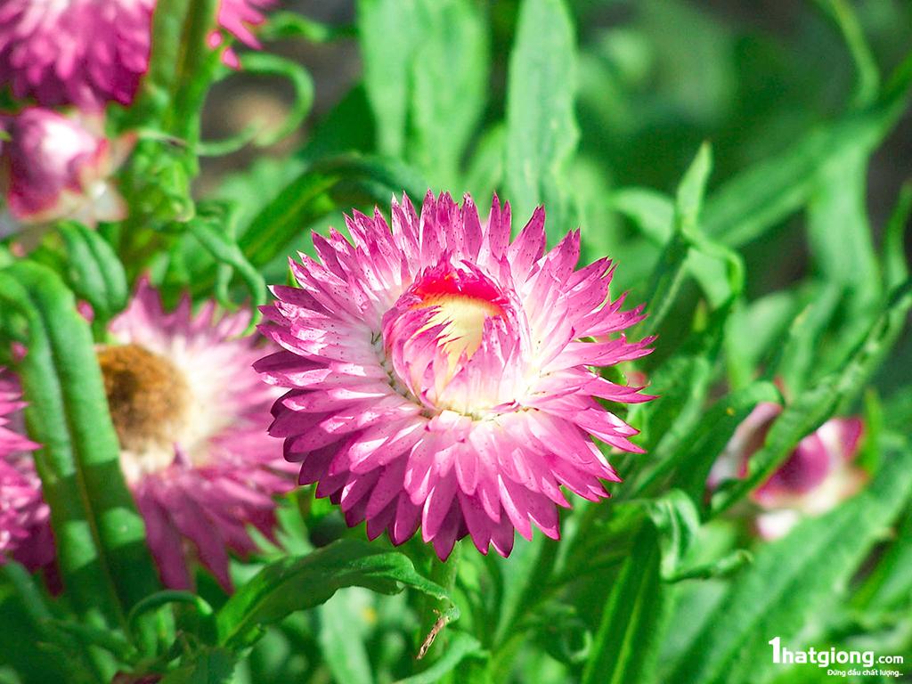 Hoa bất tử màu hồng cực đẹp