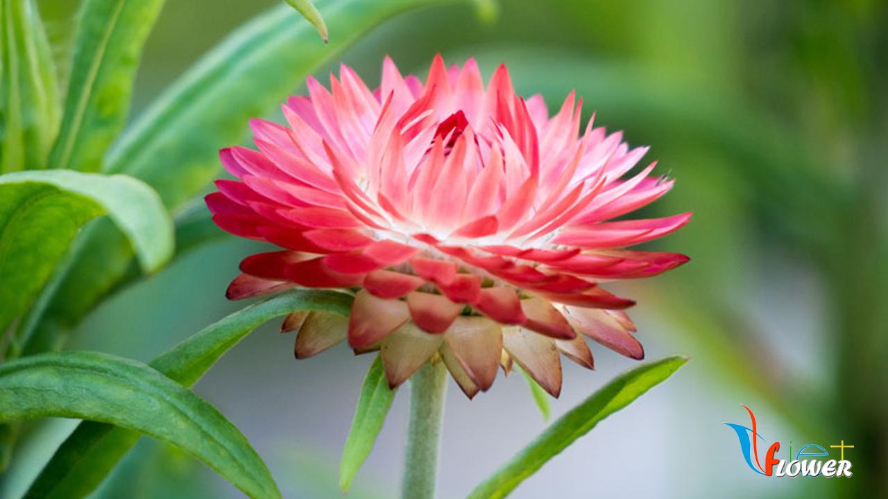 Hoa bất tử màu hồng cực xinh