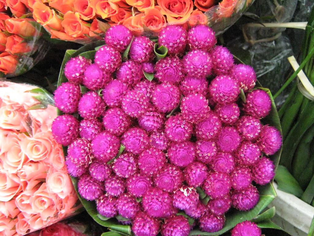 Hoa bất tử màu hồng đậm cực đẹp