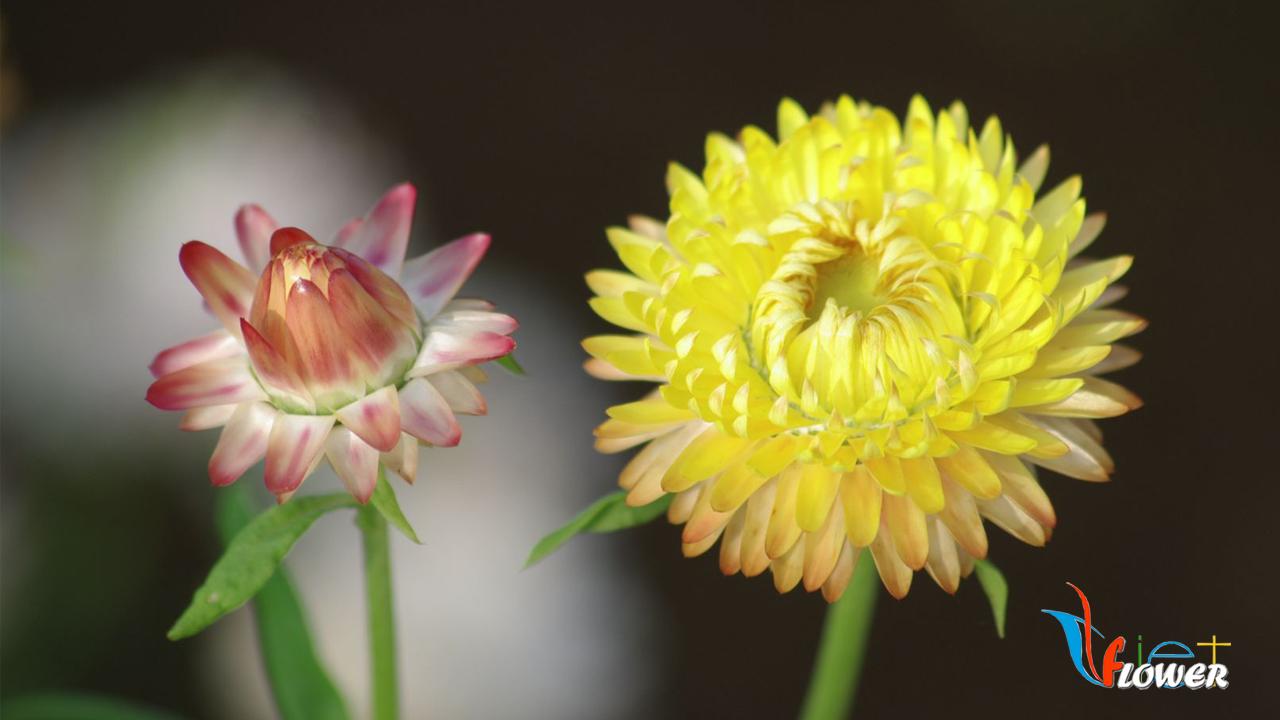 Hoa bất tử màu vàng nụ cam cực xinh