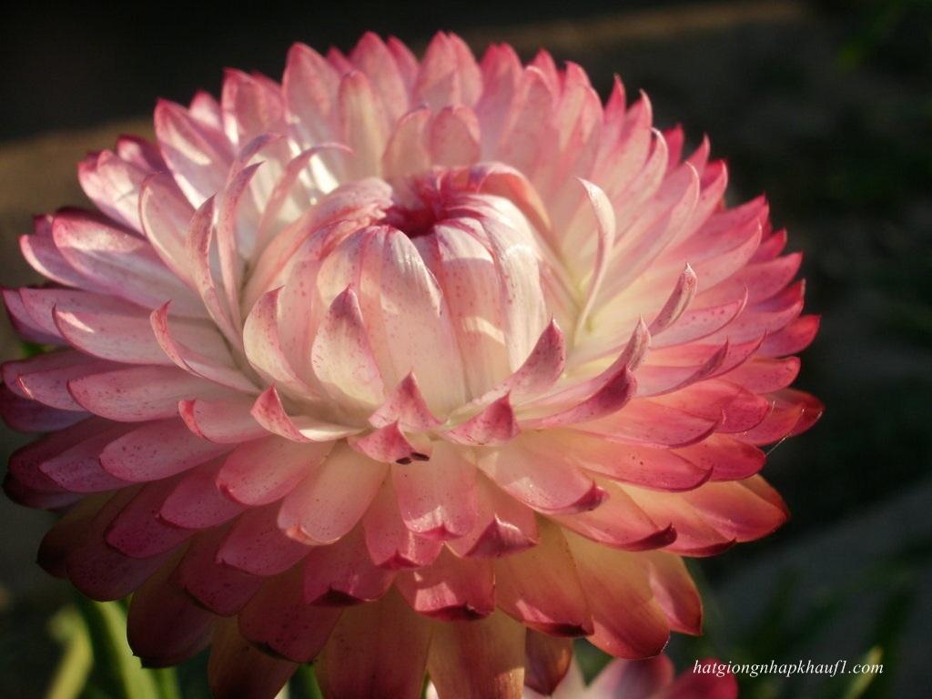 Hoa bất tử trắng hồng cực kỳ xinh đẹp