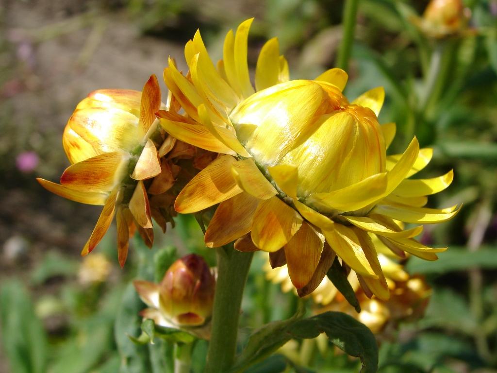 Hoa bất tử vàng cực đẹp