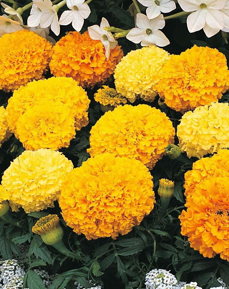 Hoa cúc vạn thọ màu vàng cực đẹp