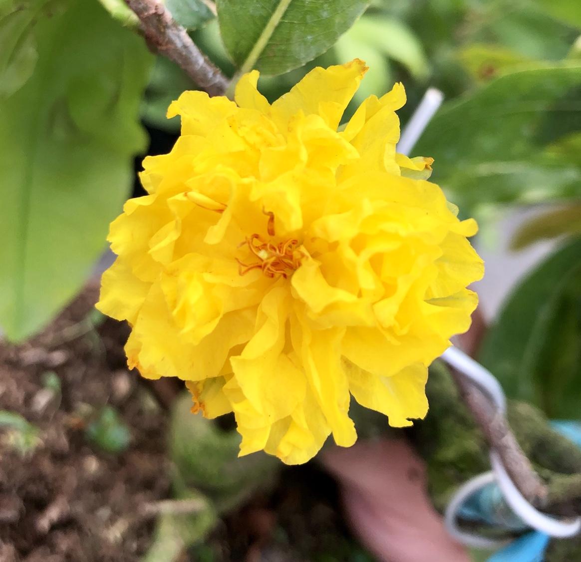 Hoa cúc vạn thọ màu vàng đẹp