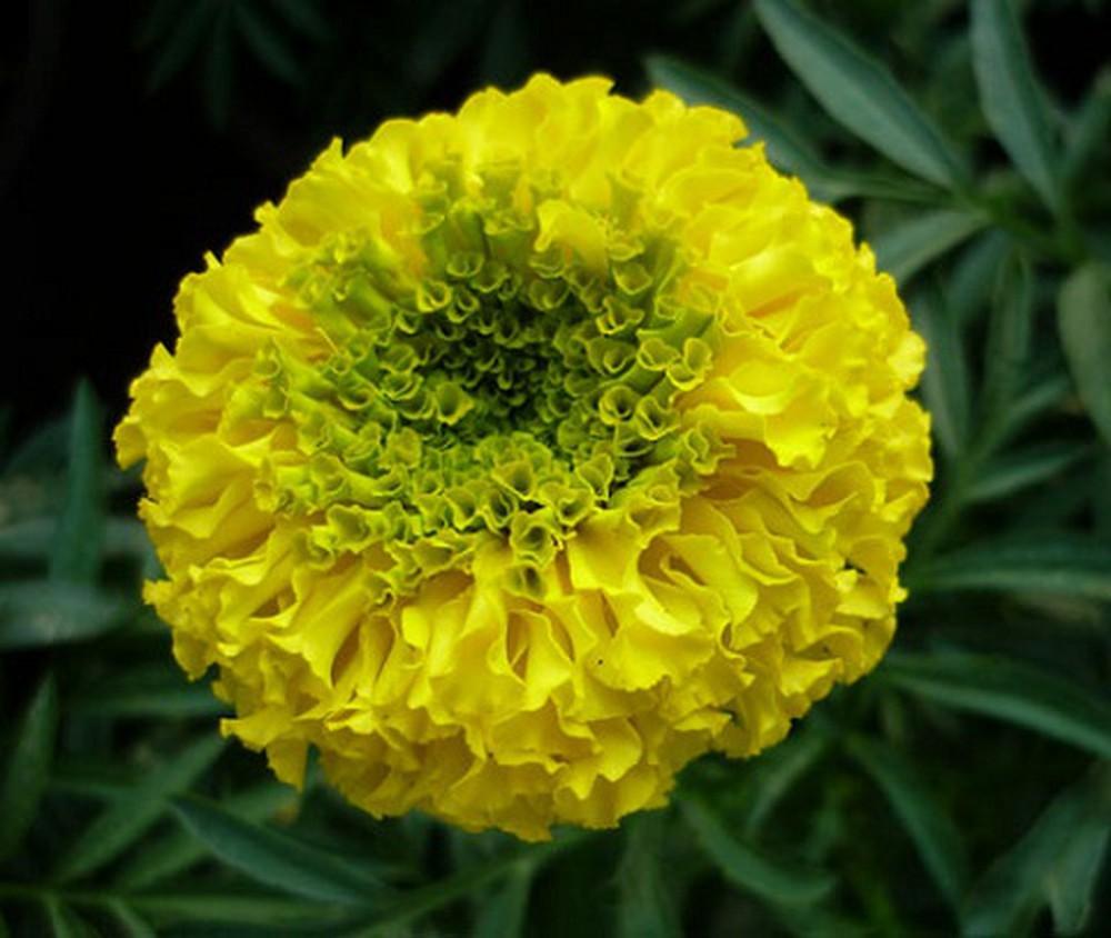 Hoa cúc vạn thọ màu vàng nhụy xanh