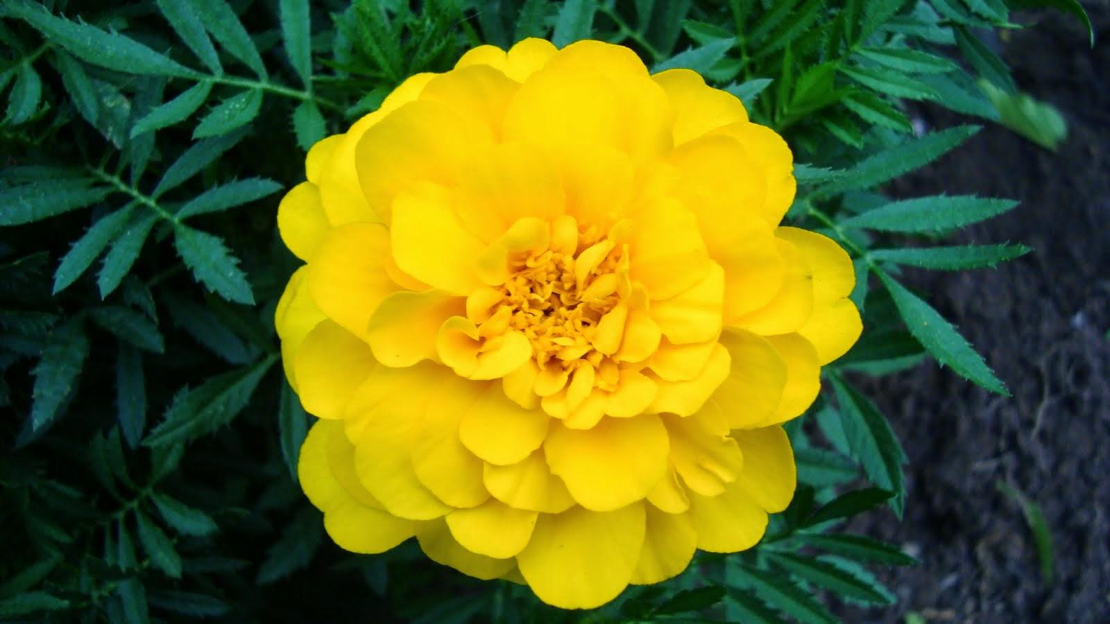 Hoa cúc vạn thọ màu vàng rất đẹp
