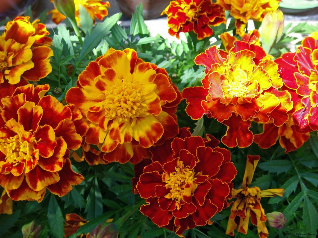 Hoa cúc vạn thọ màu vàng viền đỏ cực đẹp