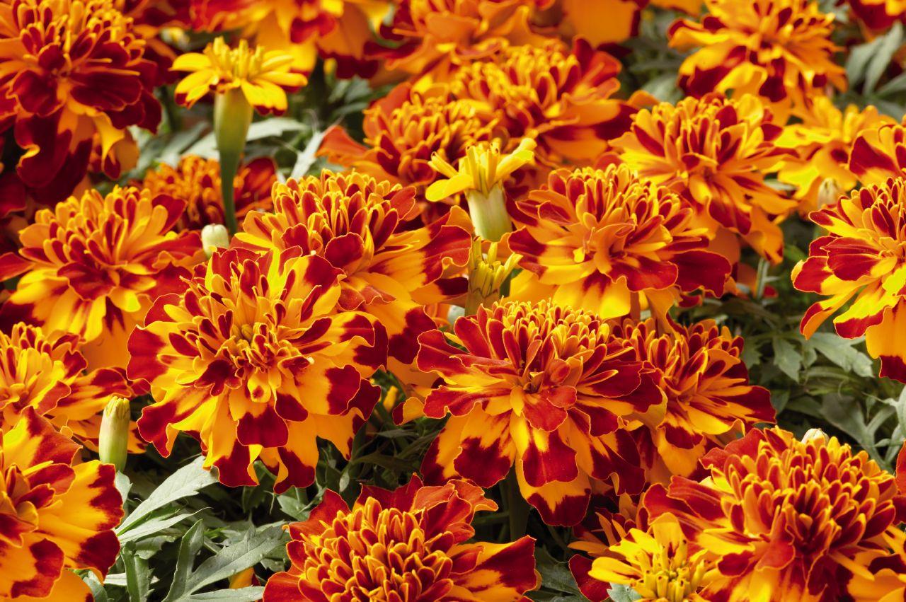 Hoa cúc vạn thọ pháp cực đẹp