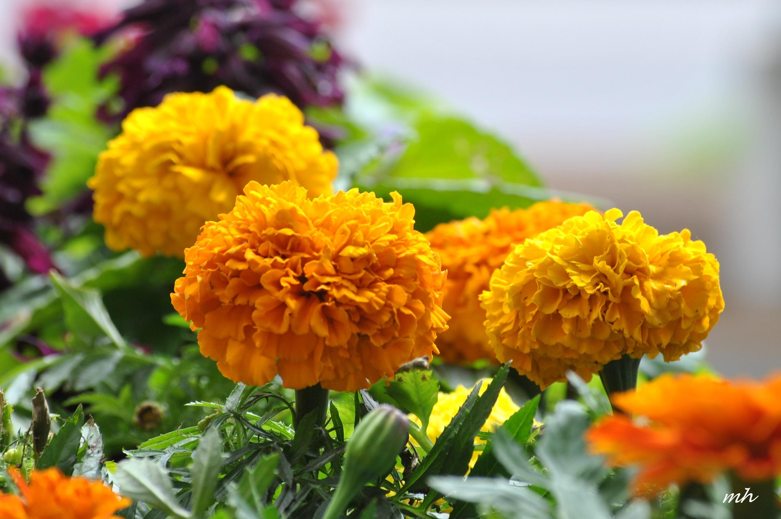 Hoa cúc vạn thọ rất đẹp