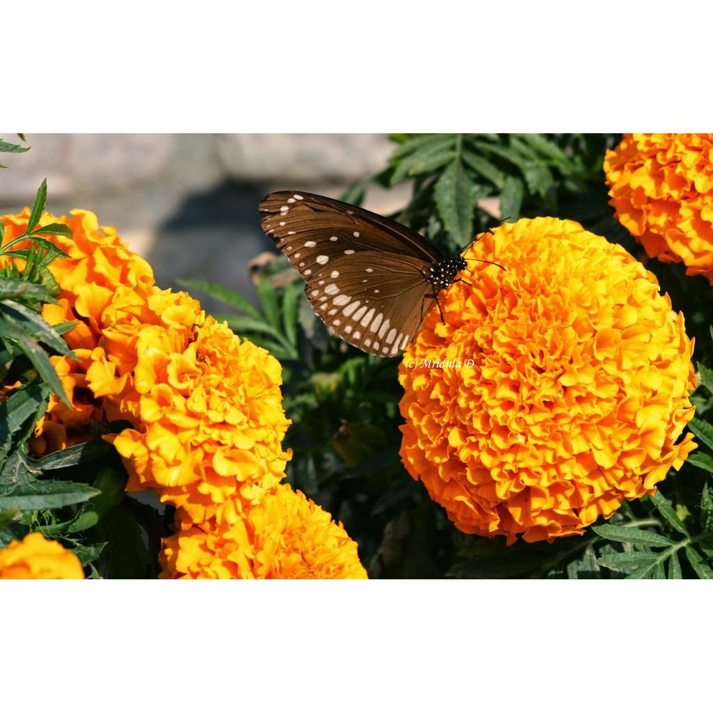 Hoa cúc vạn thọ và bướm rất đẹp