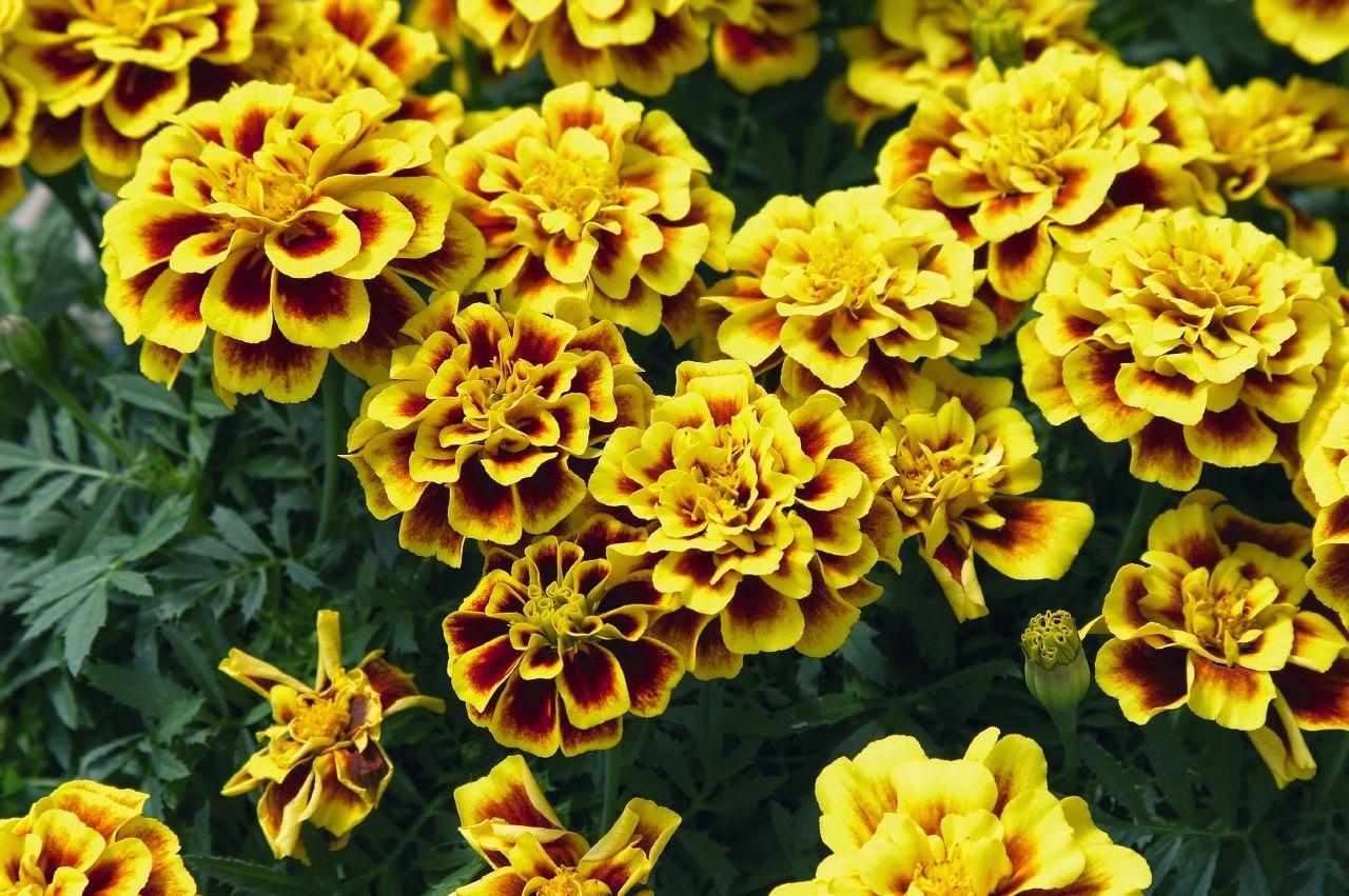 Hoa cúc vạn thọ viền vàng thật đẹp