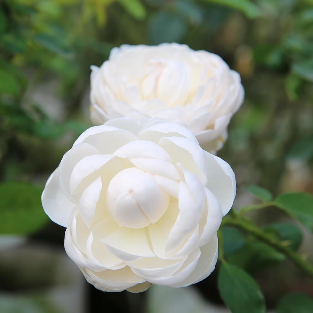 Hoa hồng ngại màu trắng rất đẹp