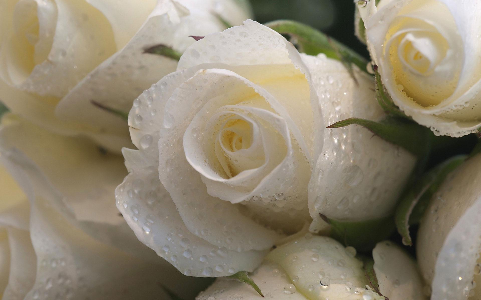 Hoa hồng trắng đọng nước cực xinh