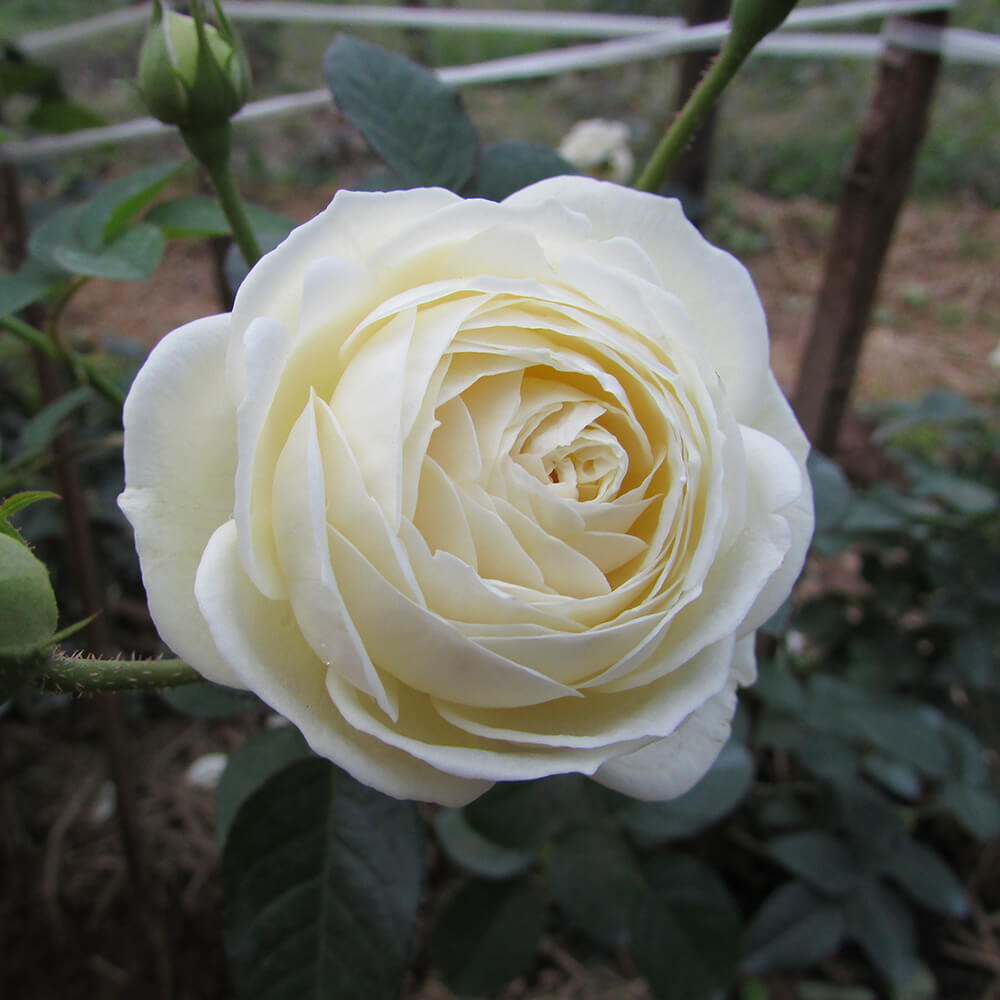 Hoa hồng trắng Đức cực đẹp