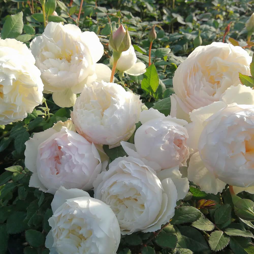 Hoa hồng trắng Nhật trồng trong vườn